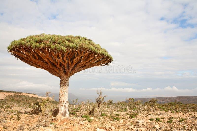 Árvore de dragão - cinnabari do Dracaena imagens de stock