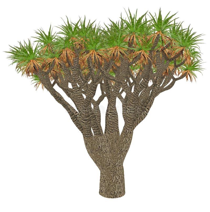 Árvore de dragão das Ilhas Canárias ou drago, dracaena ilustração stock