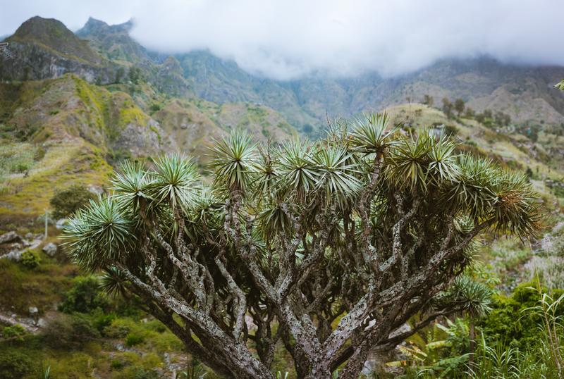 Árvore de dragão enorme em um vale em Santo Antao, Cabo Verde Cabo Verde fotos de stock royalty free