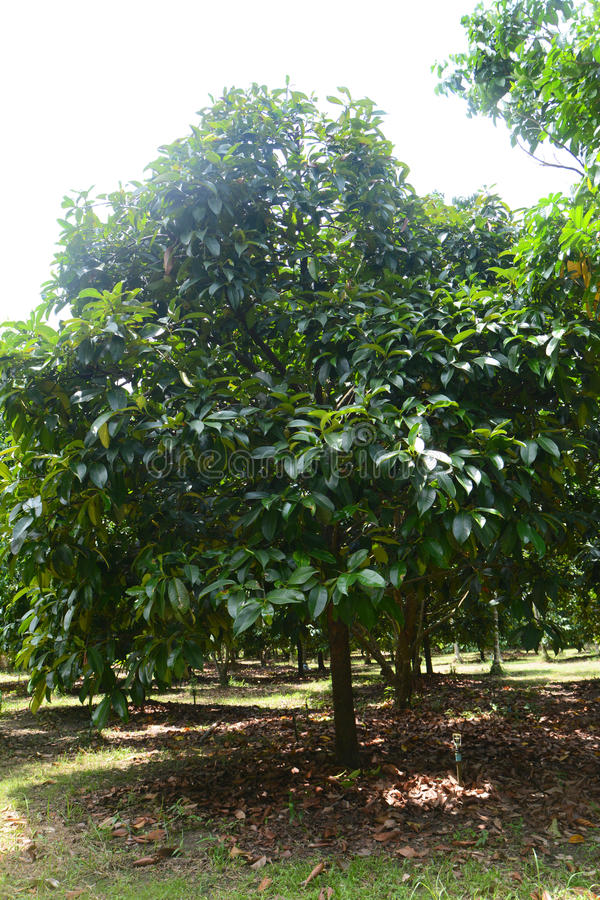 Árvore de Durian foto de stock