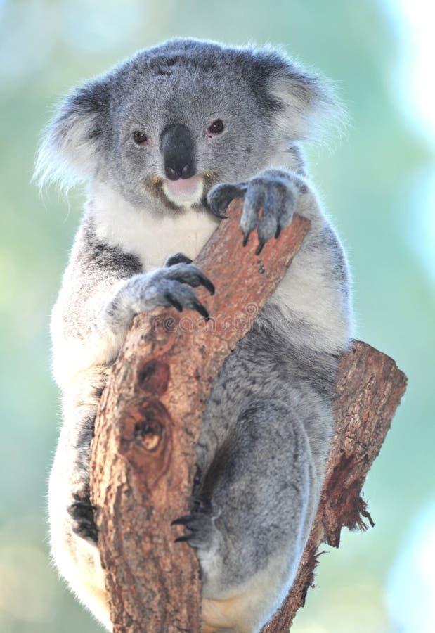 Árvore de eucalipto australiana do urso de Koala, queensland imagens de stock