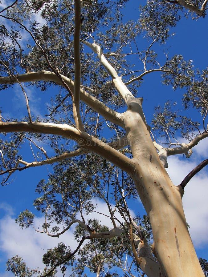 Árvore de eucalipto branca da casca, montanhas azuis, Austrália imagem de stock