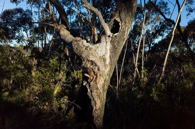 Árvore de eucalipto Craggy velha fotografia de stock