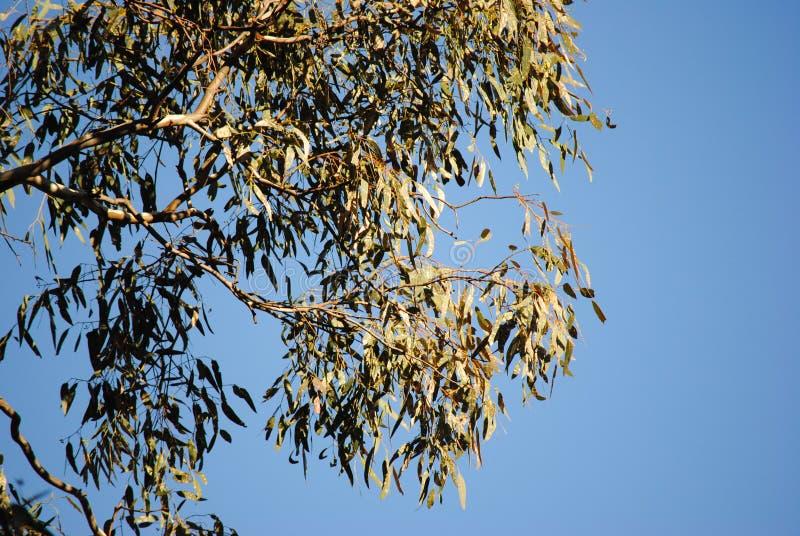 Árvore de eucalipto em Lockwood sul imagem de stock