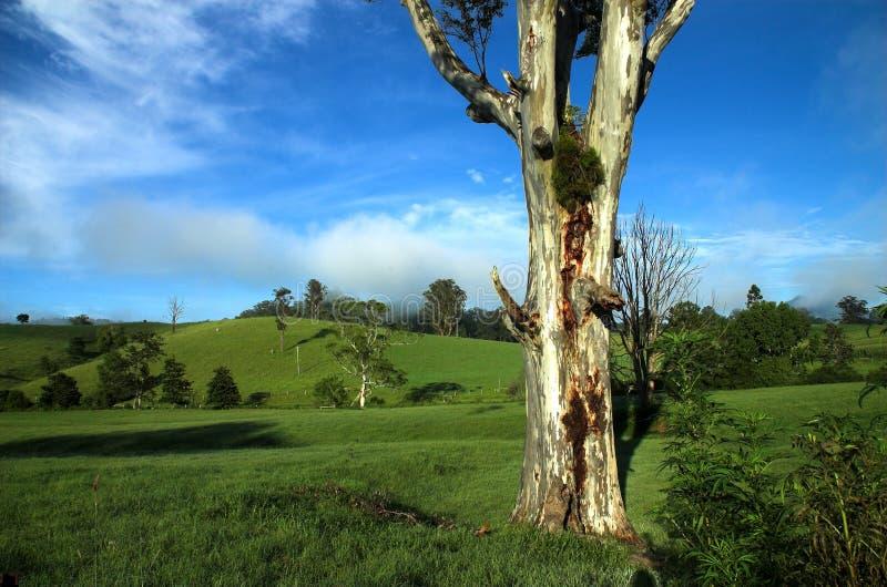 Árvore de eucalipto em uma paisagem do país fotografia de stock