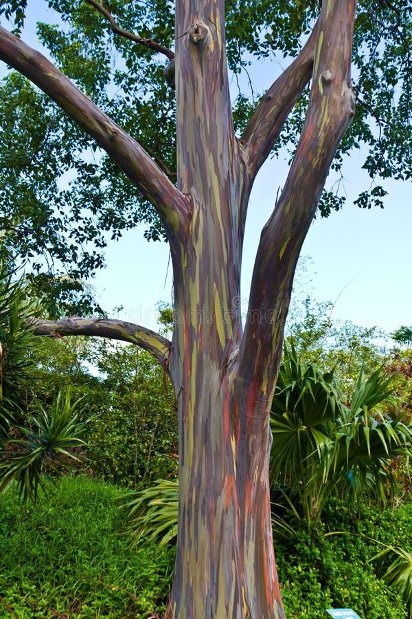 Árvore de eucalipto na estrada a Hanna foto de stock
