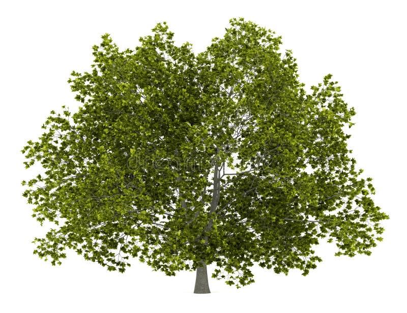 Árvore de faia americana isolada no branco ilustração royalty free