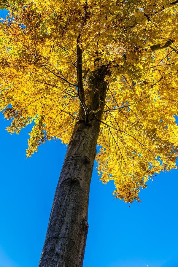 Árvore de faia isolada - Beechwood de Voderady, Czechia imagens de stock royalty free