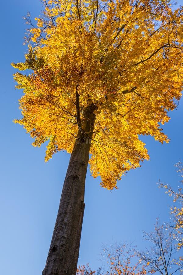 Árvore de faia isolada - Beechwood de Voderady, Czechia imagem de stock