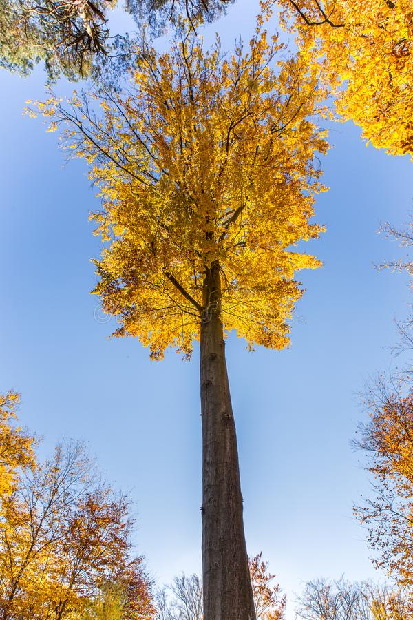 Árvore de faia isolada - Beechwood de Voderady, Czechia foto de stock royalty free