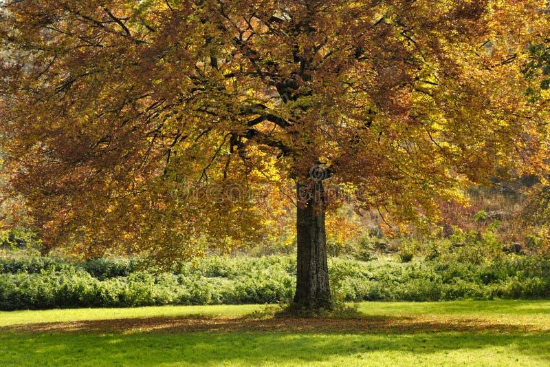 Árvore de faia no outono fotografia de stock royalty free