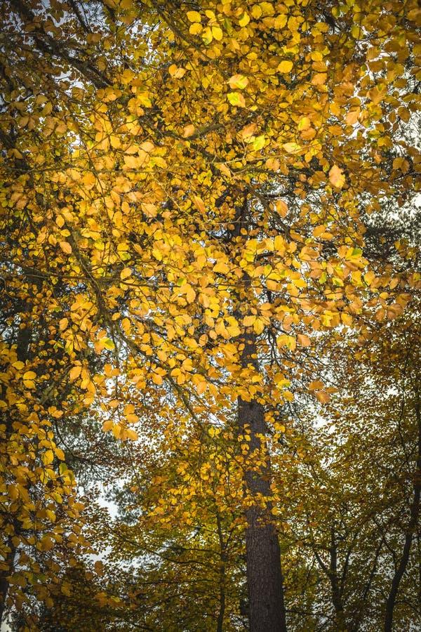 Árvore de faia no outono em Cairngorms de Escócia fotografia de stock