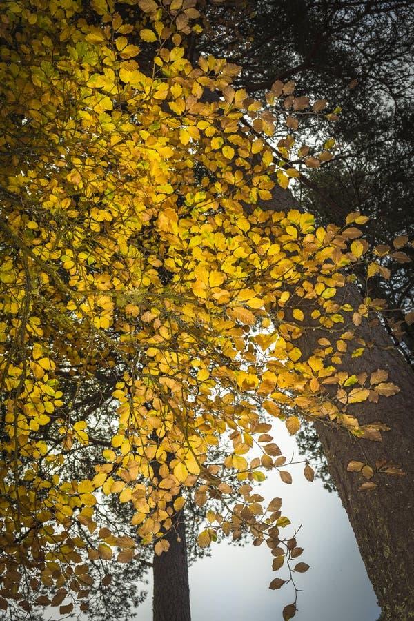 Árvore de faia no outono em Cairngorms de Escócia foto de stock royalty free