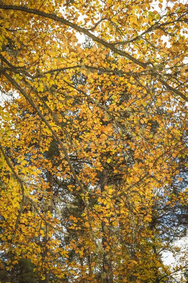 Árvore de faia no outono em Cairngorms de Escócia foto de stock