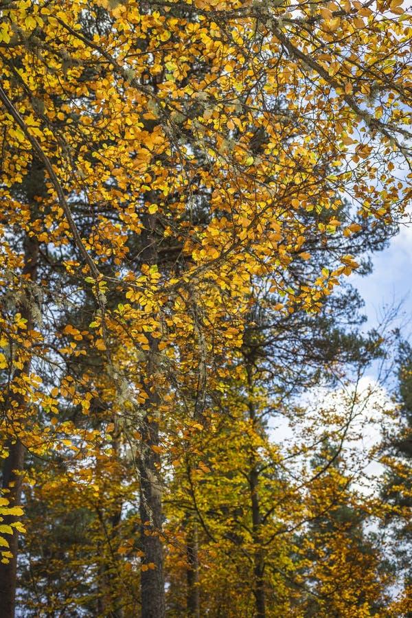 Árvore de faia no outono em Cairngorms de Escócia imagens de stock royalty free