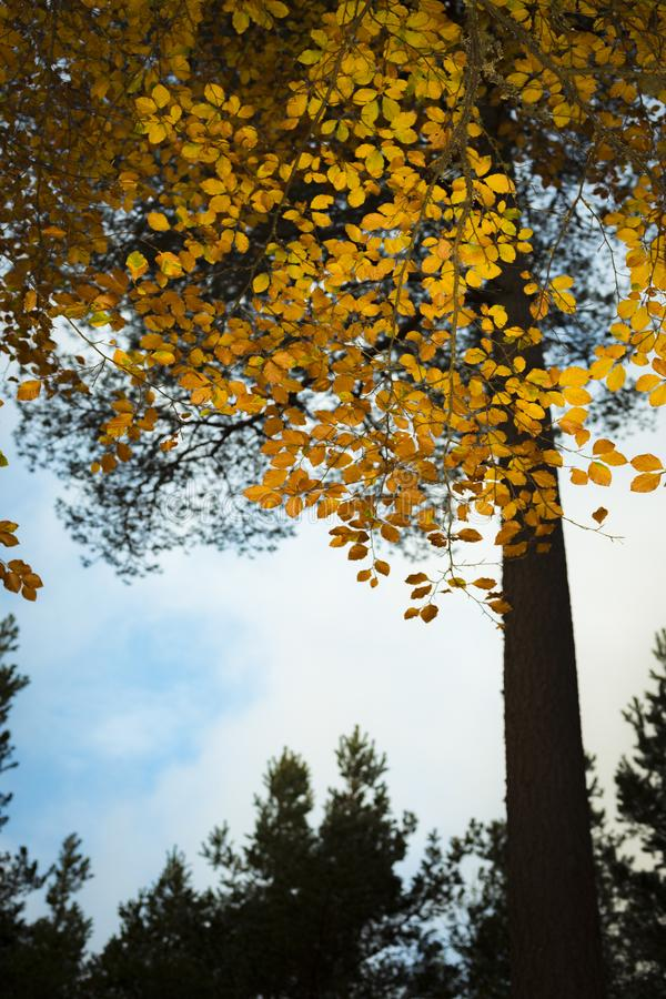 Árvore de faia no outono em Cairngorms de Escócia fotos de stock