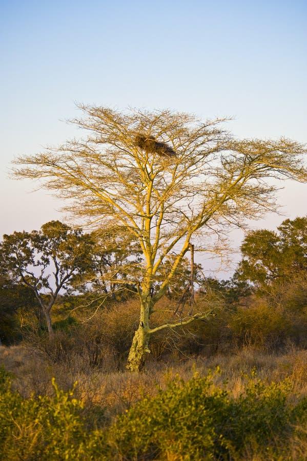 Árvore de febre imagem de stock