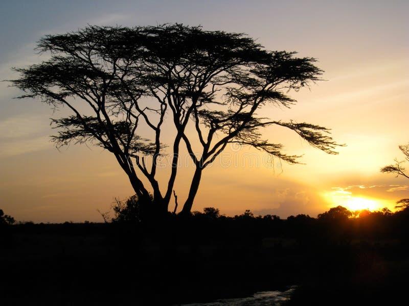 Árvore de febre no por do sol imagens de stock