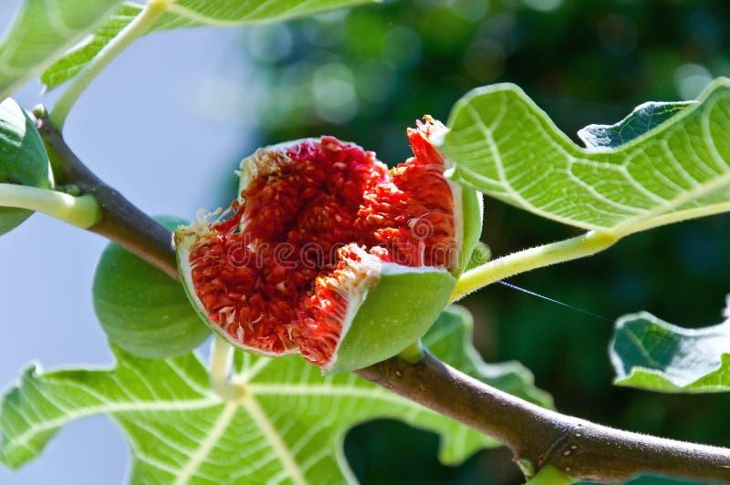 Árvore de figo fotografia de stock