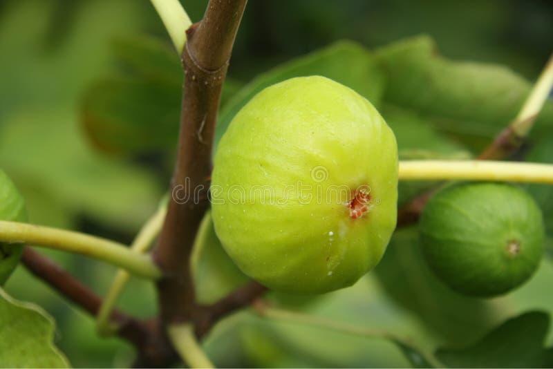 Download Árvore de figo, close-up imagem de stock. Imagem de nave - 12813917