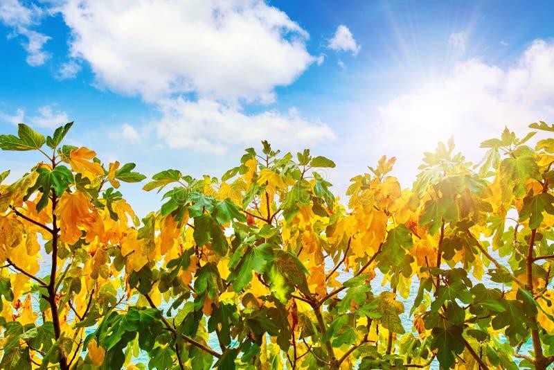 Árvore de figo com as folhas amarelas e verdes fotos de stock