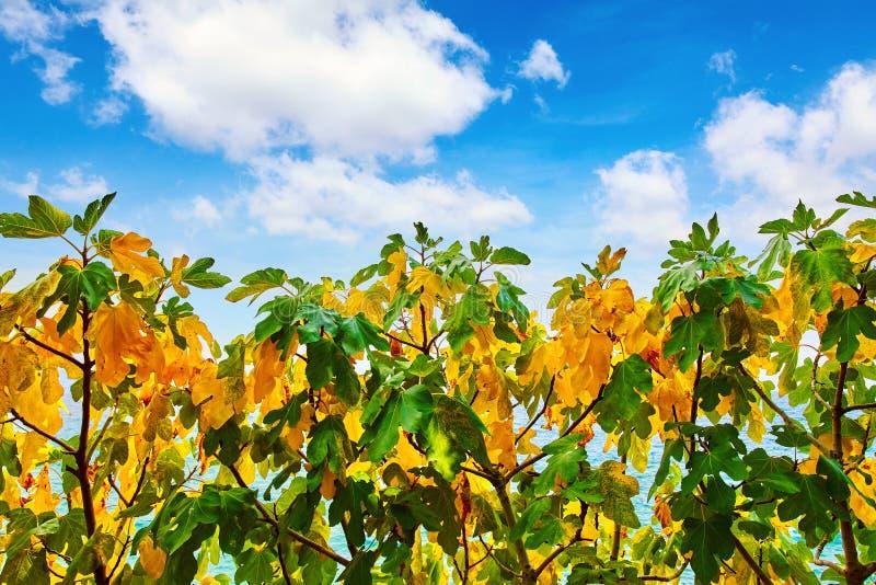 Árvore de figo com as folhas amarelas e verdes foto de stock royalty free