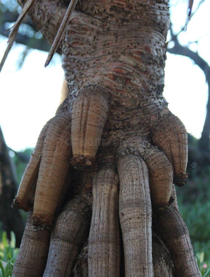 Árvore de figo com grandes raizes grossas foto de stock