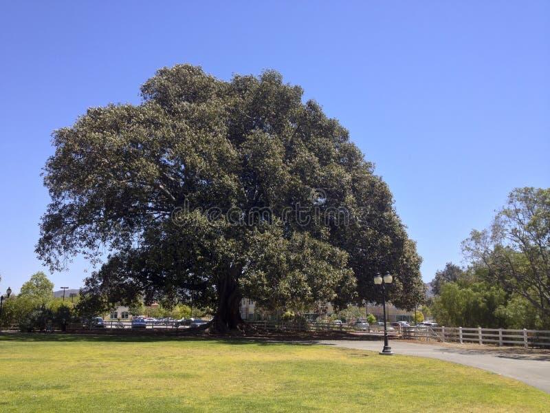 Árvore de figo da baía de Moreton fotos de stock royalty free