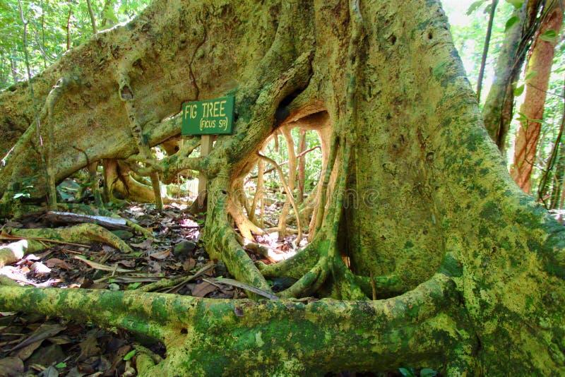 A árvore de figo enraíza British Virgin Islands imagem de stock