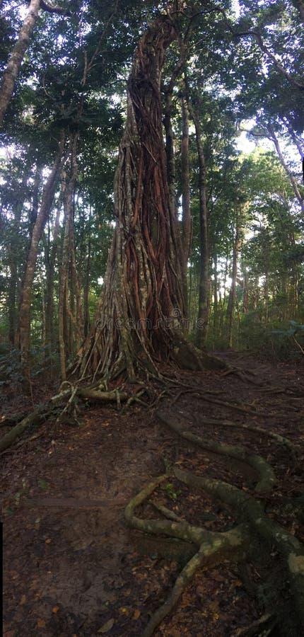 Árvore de figo gigante tangled com as lianas que crescem na floresta úmida tropical fotografia de stock royalty free