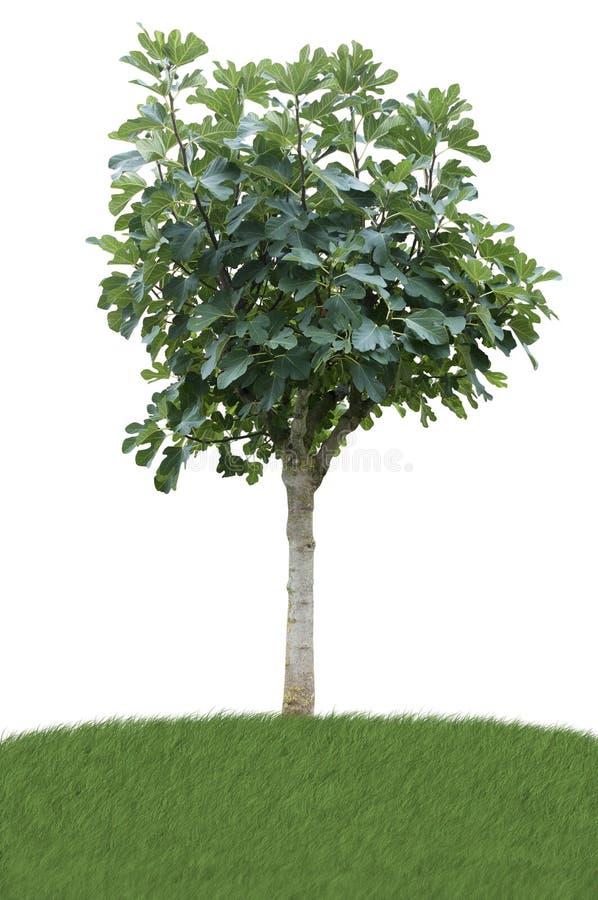 Árvore de figo no prado foto de stock