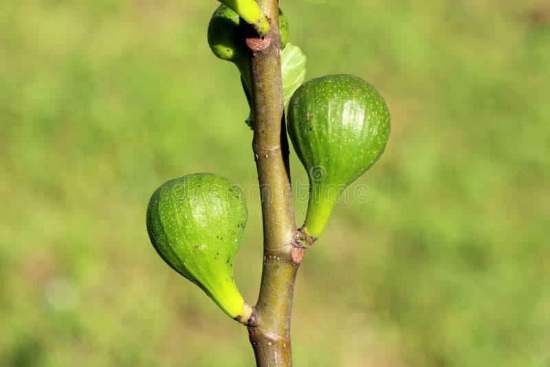 Árvore de figo ou ramo de Ficus Carica único com os dois figos frescos pequenos que começam amadurecer-se em claro - fundo verde  fotografia de stock royalty free