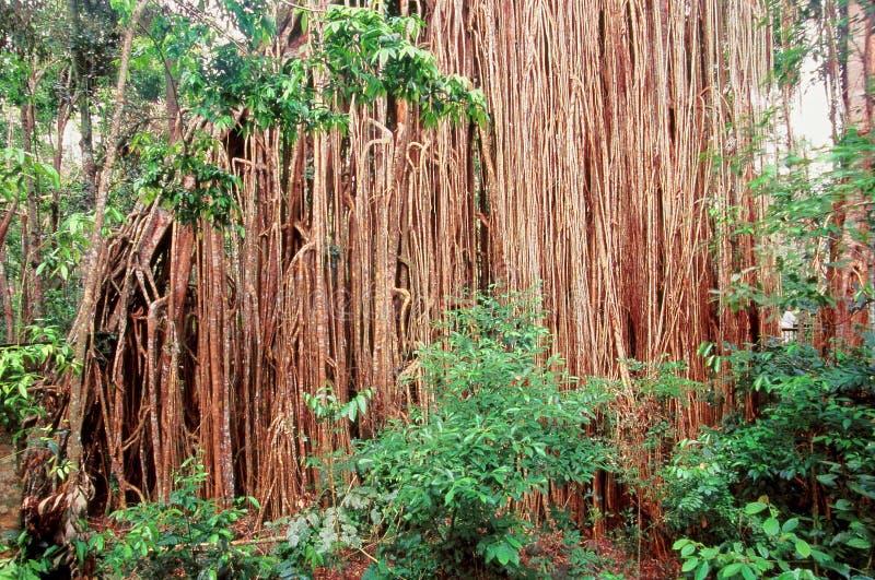 Árvore de figo Queensland da cortina Austrália imagens de stock royalty free