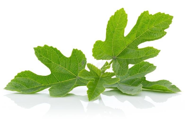 A árvore de figo sae no fundo branco fotos de stock royalty free