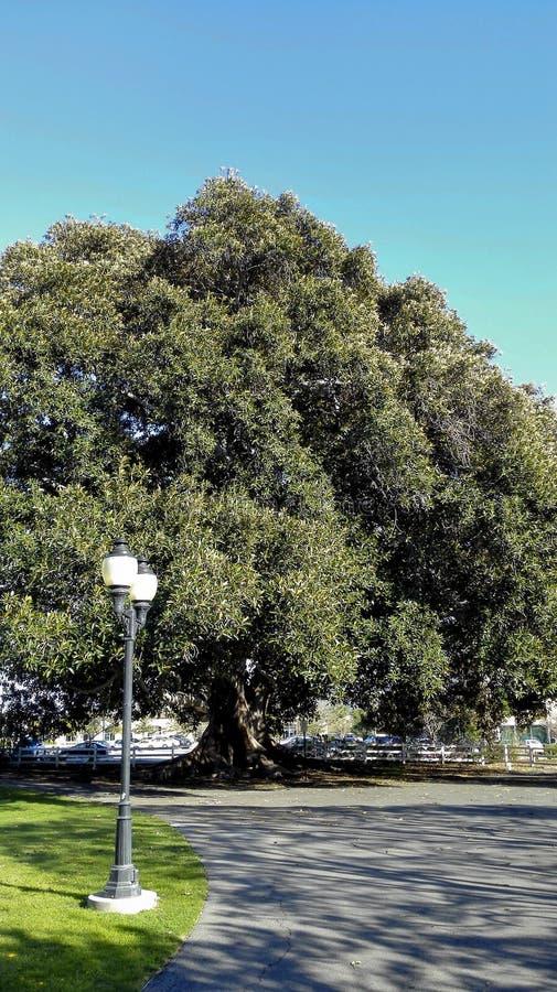 Árvore de figo velha da baía de Moreton do século, Camarillo, CA fotos de stock