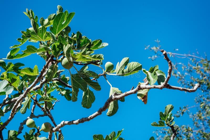 Árvore de figo verde com fundo do céu azul imagens de stock