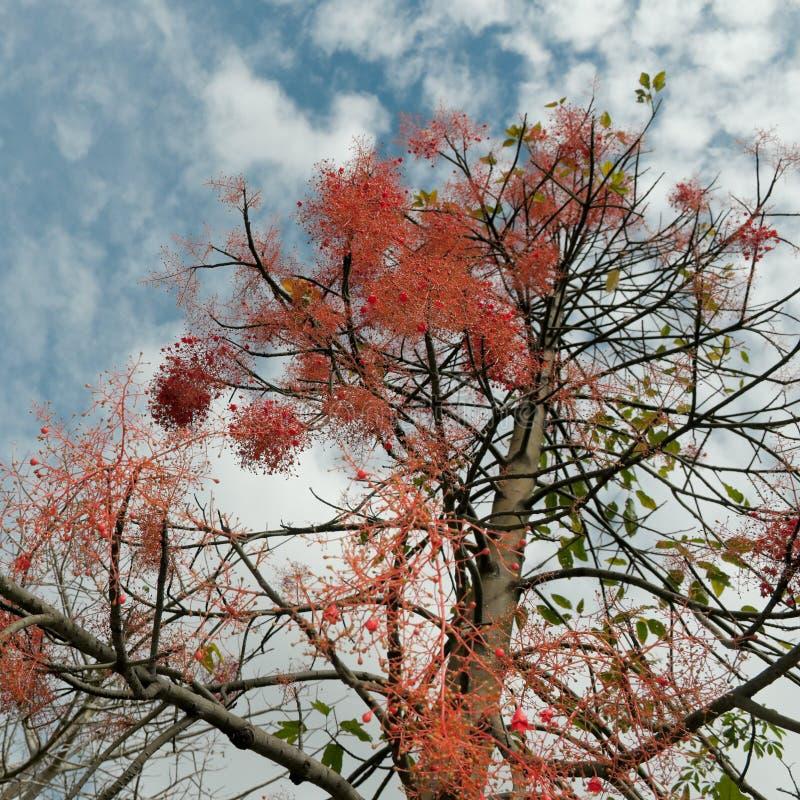 Árvore de flama de Queensland foto de stock