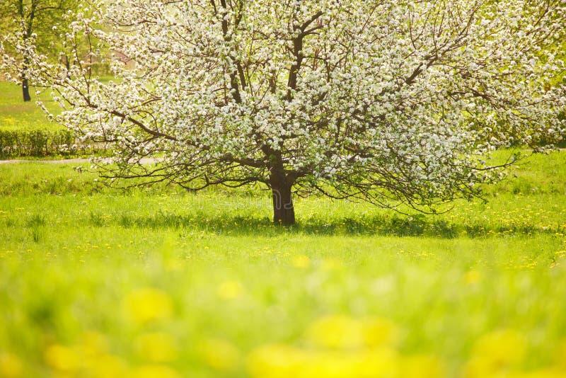 Árvore de florescência fotos de stock