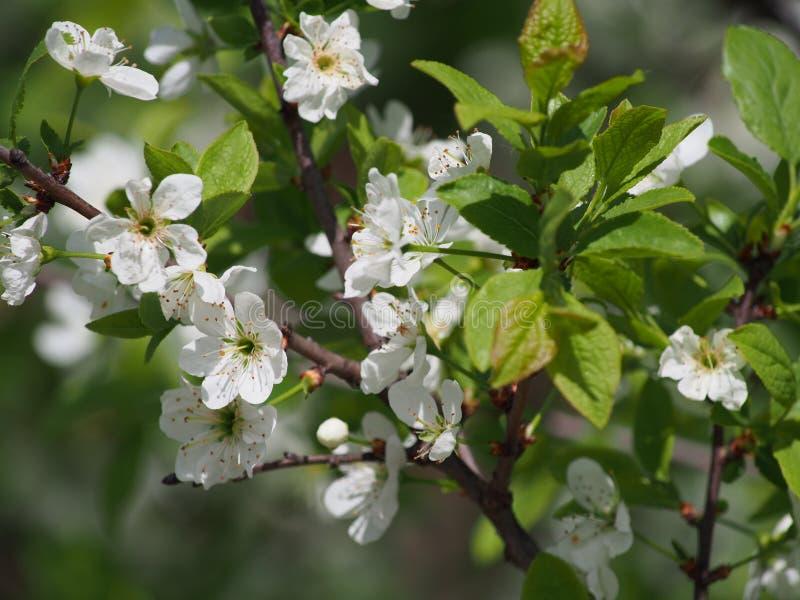Árvore de florescência. foto de stock royalty free