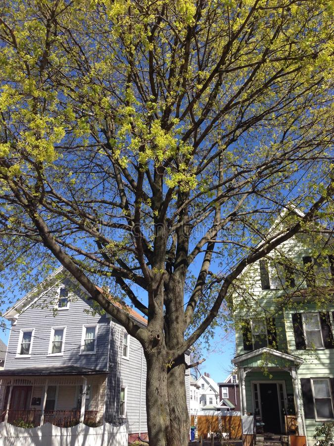 Árvore de florescência foto de stock