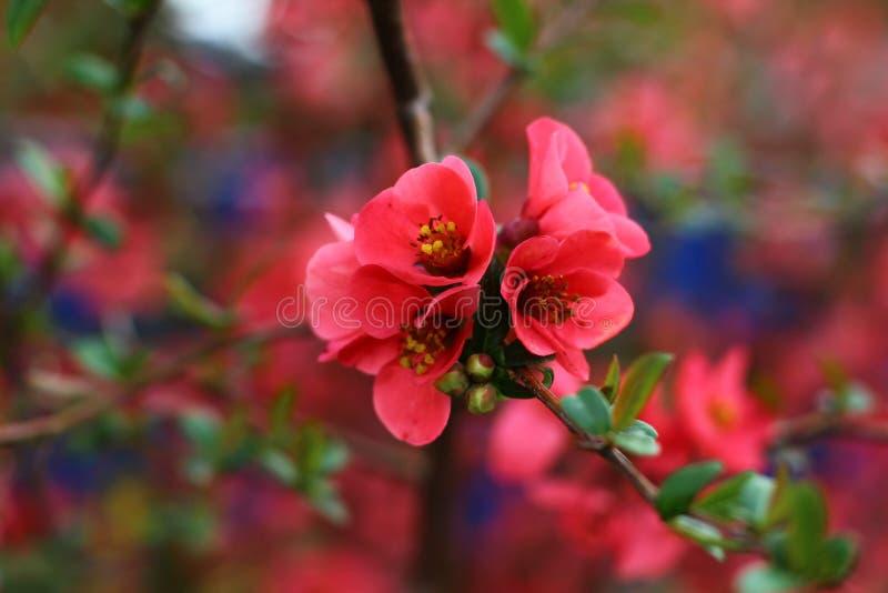 árvore de florescência foto de stock royalty free