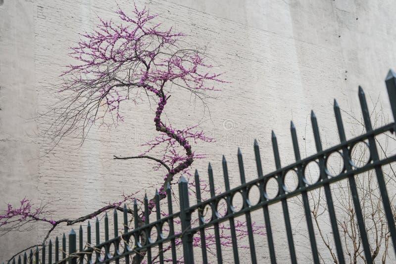 Árvore de florescência atrás da cerca do metal foto de stock royalty free