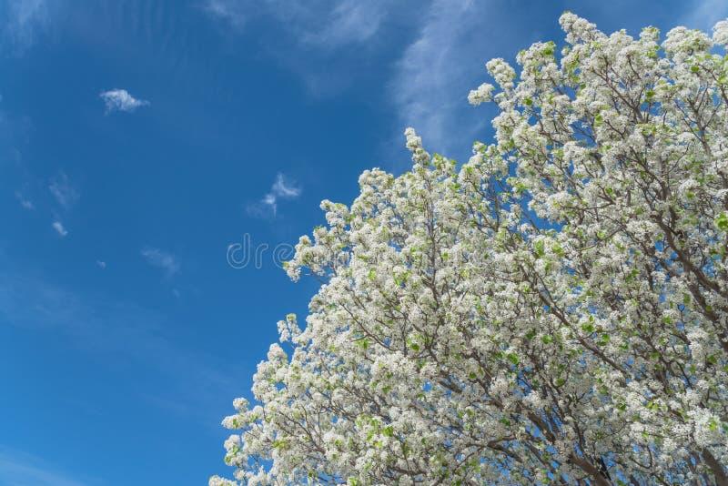 A árvore de florescência de Bradford Pear floresce na mola em Irving, Texas, imagem de stock