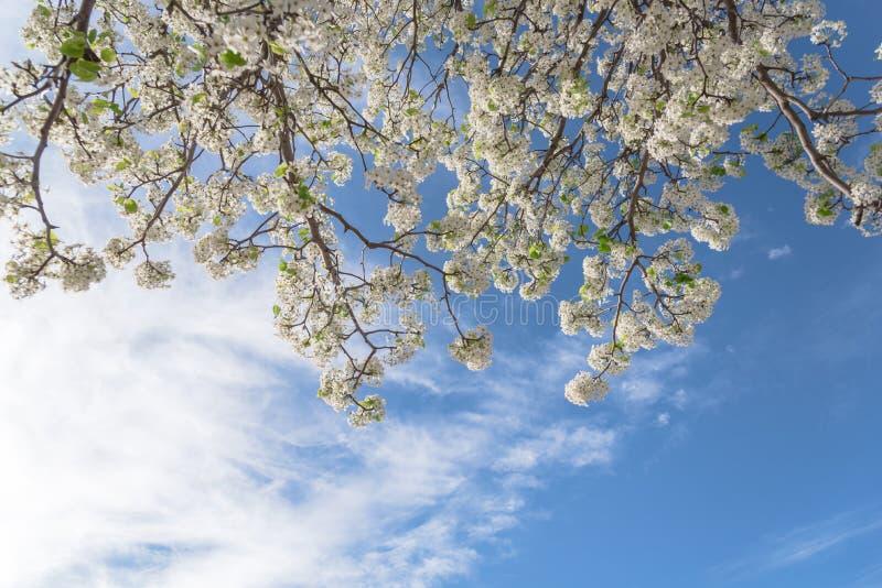 A árvore de florescência de Bradford Pear floresce na mola em Irving, Texas, fotografia de stock royalty free