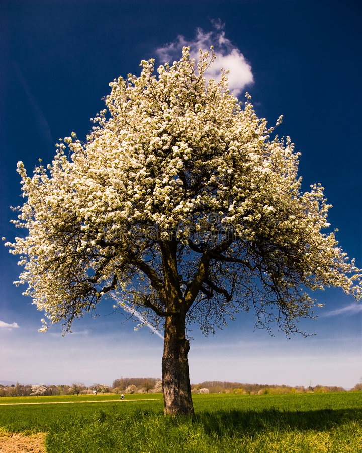 Árvore de florescência brilhante fotos de stock royalty free