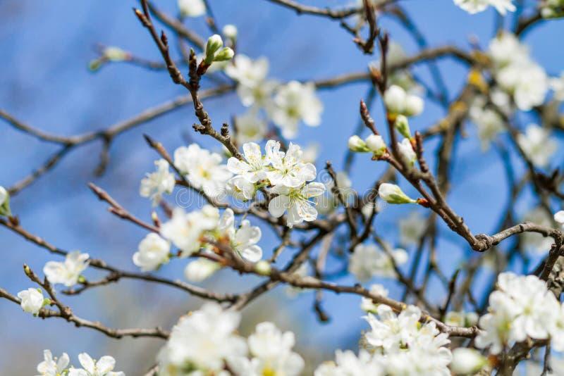 Árvore de florescência com flores imagem de stock royalty free