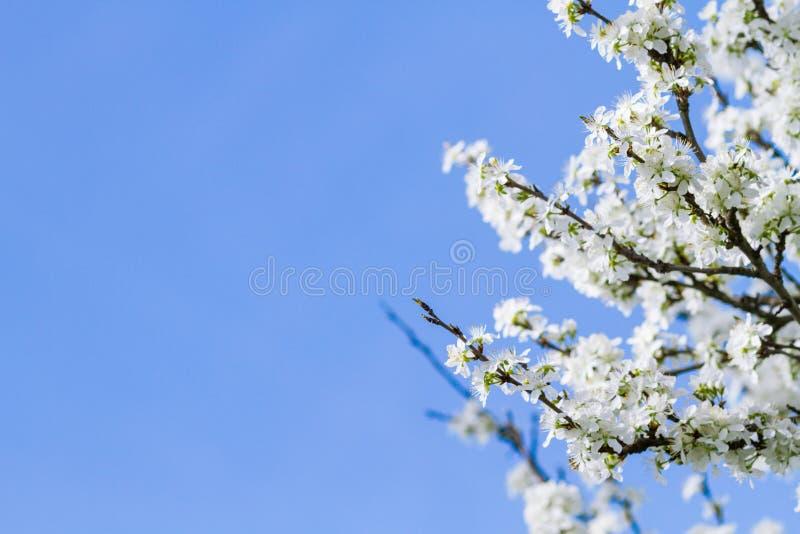 Árvore de florescência com flores fotografia de stock