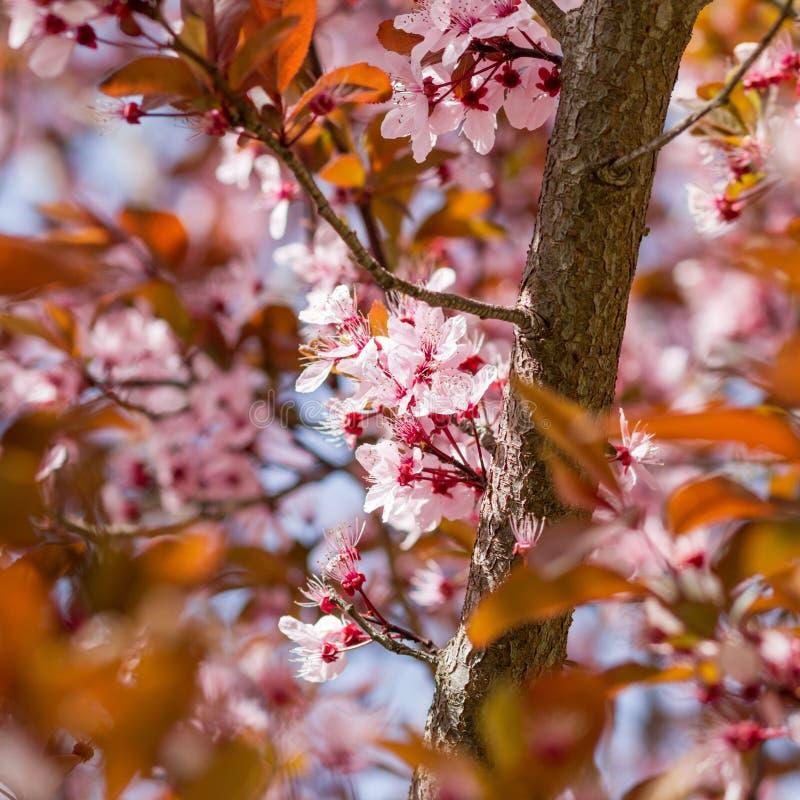 Árvore de florescência com flores cor-de-rosa imagens de stock