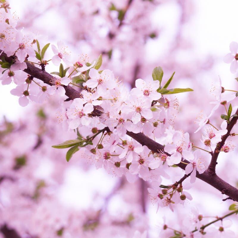 Árvore de florescência com flores cor-de-rosa fotografia de stock