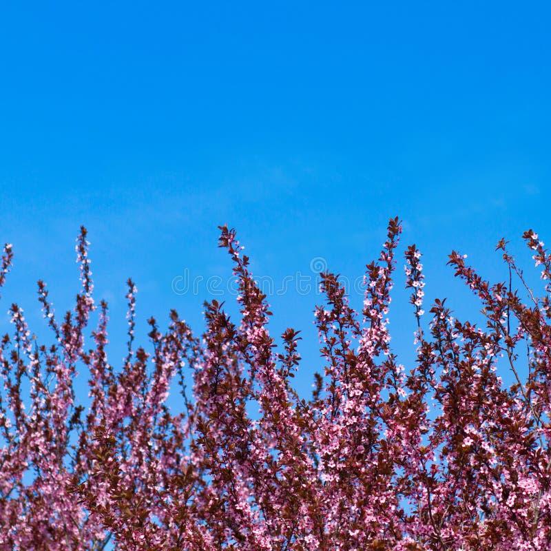 Árvore de florescência com flores cor-de-rosa imagem de stock royalty free